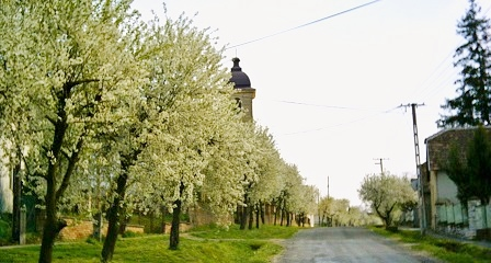 Somogyacsa village 2003 cherry trees